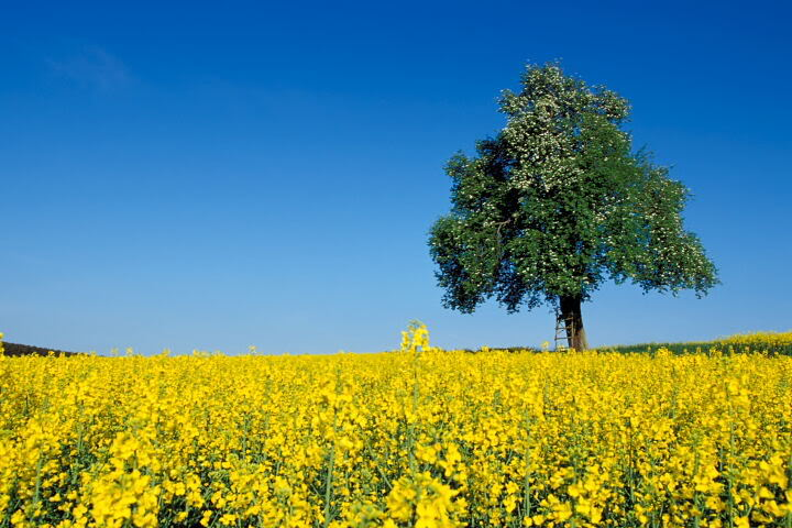 rapeseed fields Pictures, Images and Photos